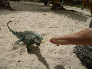 Iguane-caravelle